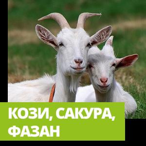 Велотур Кози, сакура, фазан